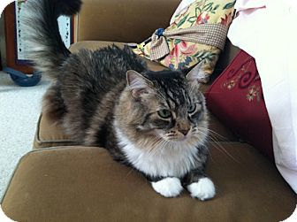 Maine Coon Cat for adoption in Laguna Woods, California - Will