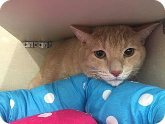 Domestic Shorthair Cat for adoption in Glendale, Arizona - Seamus