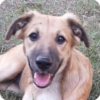 German Shepherd Dog Mix Puppy for adoption in Preston, Connecticut - Tris AD 12-10-16