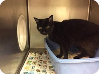 Domestic Shorthair Cat for adoption in Janesville, Wisconsin - Blair