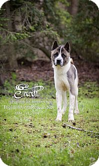 Akita Dog for adoption in Toms River, New Jersey - Everett
