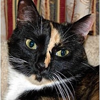 Calico Cat for adoption in Lutherville, Maryland - Erin