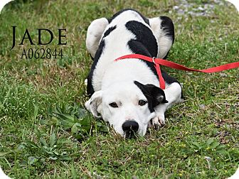 Australian Shepherd/Border Collie Mix Dog for adoption in Goodlettsville, Tennessee - Jade