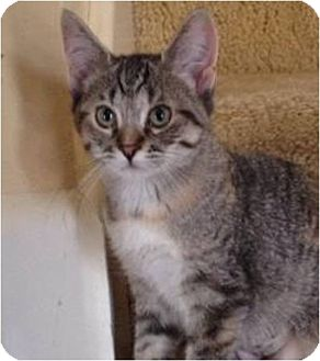 Domestic Shorthair Kitten for adoption in Green Bay, Wisconsin - Ruby