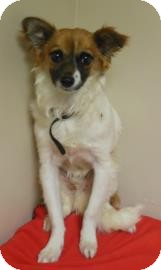 Chihuahua/Papillon Mix Puppy for adoption in Gary, Indiana - TJ