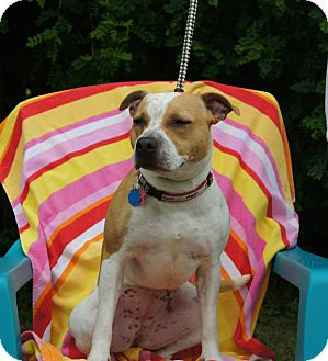 Pit Bull Terrier Dog for adoption in River Falls, Wisconsin - Maizy