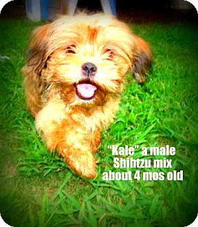 Shih Tzu Mix Puppy for adoption in Gadsden, Alabama - Kale