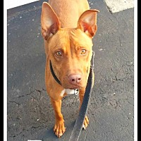 Pit Bull Terrier Mix Dog for adoption in Wantagh, New York - Penny