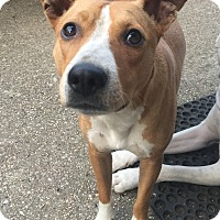 Adopt A Pet :: Bam Bam - MILWAUKEE, WI