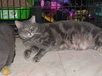 Domestic Shorthair Cat for adoption in Stafford, Virginia - Wolfe