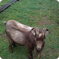 Goat for adoption in Silverdale, Washington - Graham