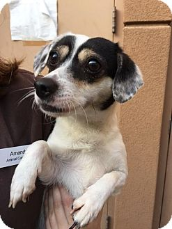 Jack Russell Terrier/Dachshund Mix Dog for adoption in Westminster, California - Dagney