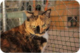 Domestic Shorthair Cat for adoption in Jenkintown, Pennsylvania - Chloe