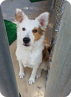 Australian Shepherd Dog for adoption in San Antonio, Texas - Jemma