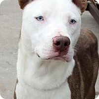 Australian Shepherd Mix Dog for adoption in Yukon, Oklahoma - Peter Pan
