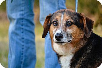 Corgi Mix Dog for adoption in Washington, Georgia - Mooch