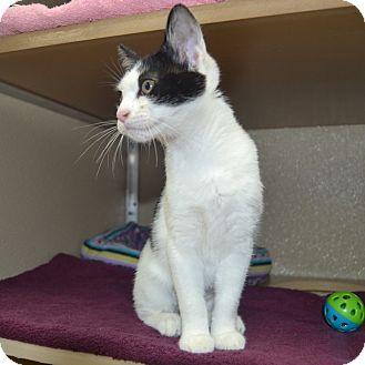 Domestic Shorthair Kitten for adoption in Wheaton, Illinois - Betty