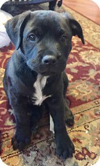 Labrador Retriever/Boxer Mix Puppy for adoption in Houston, Texas - Aspen