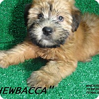 Adopt A Pet :: Chewbacca-ADOPTED-more coming - El Cajon, CA