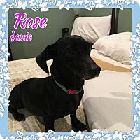 Dachshund Dog for adoption in Bogalusa, Louisiana - Rose