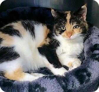 Calico Cat for adoption in Lunenburg, Massachusetts - Carmen