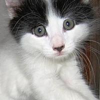 Domestic Mediumhair Cat for adoption in Des Moines, Iowa - SPOT