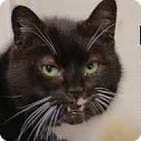 Domestic Shorthair Cat for adoption in Union Lake, Michigan - Rex>^.,.^< $35 adoption