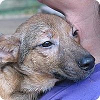 Adopt A Pet :: Cheeto - Albany, NY