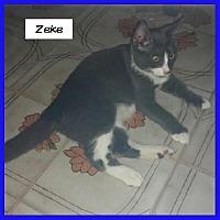 Domestic Shorthair Kitten for adoption in Miami, Florida - Zeke