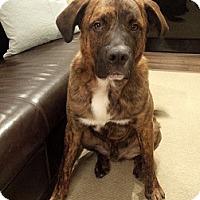 Adopt A Pet :: Brody - Hamilton, ON