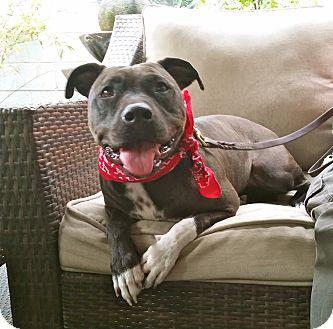 Staffordshire Bull Terrier/English Bulldog Mix Dog for adoption in Los Angeles, California - Cute Daisy
