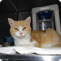Domestic Shorthair Cat for adoption in Portland, Indiana - Lizzie
