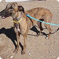 Adopt A Pet :: Zoey - Tucson, AZ