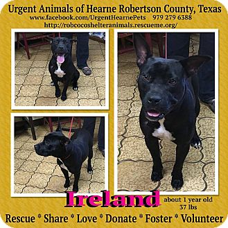 American Staffordshire Terrier Mix Dog for adoption in Hearne, Texas - Ireland