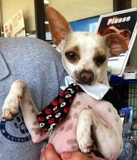Chihuahua Mix Dog for adoption in Mount Pleasant, South Carolina - Pinto