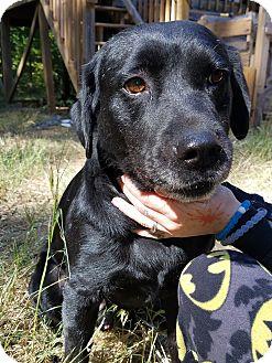Labrador Retriever Mix Dog for adoption in Jasper, Georgia - Spartacus
