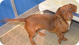 Dachshund Mix Dog for adoption in Humble, Texas - Cherish