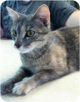 Domestic Shorthair Cat for adoption in Murphysboro, Illinois - Nona