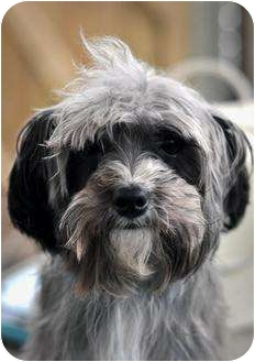 Yorkie, Yorkshire Terrier/Poodle (Miniature) Mix Dog for adoption in Guelph, Ontario - Timbit