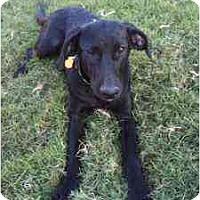 Adopt A Pet :: Ophelia - Arlington, TX