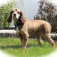 Adopt A Pet :: Tangelo - South Amboy, NJ