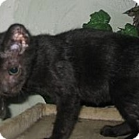 Adopt A Pet :: Baby/Blackberry - Dallas, TX