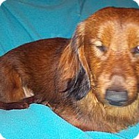 Adopt A Pet :: Oppie - Toronto, ON