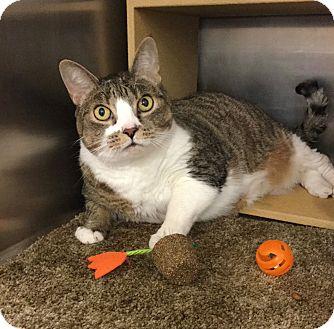 Domestic Shorthair Cat for adoption in Colmar, Pennsylvania - Emmy