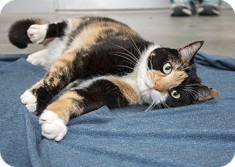 Domestic Shorthair Cat for adoption in Wilmington, Delaware - Naomi