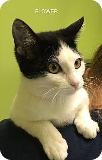 Domestic Mediumhair Kitten for adoption in Hibbing, Minnesota - FLOWER