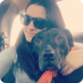 Labrador Retriever/American Staffordshire Terrier Mix Dog for adoption in Tampa, Florida - Koda