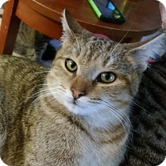 Domestic Shorthair Cat for adoption in Ocala, Florida - Red Angry bird