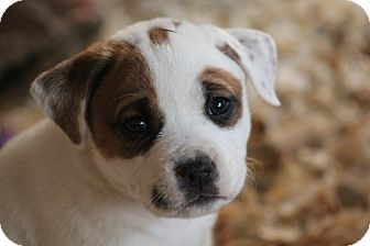 Boxer Mix Puppy for adoption in Glastonbury, Connecticut - Trix~adopted!