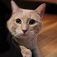 Domestic Shorthair Cat for adoption in Wayne, New Jersey - Caramela